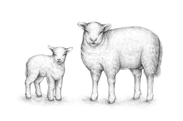 Come Disegnare Una Pecora Design E Illustrazione Sviluppo Di